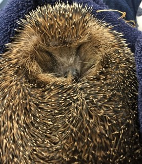 A Prickly Visitor in EYFS
